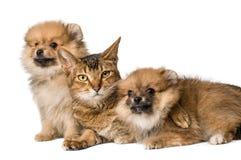 Kat en Pomeranian-puppy stock afbeelding