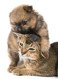 Kat en puppy in studio royalty-vrije stock foto