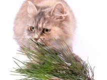 Kat en tak van pijnboom Royalty-vrije Stock Foto's