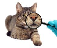 Kat en vergrootglas Veterinaire arts die controle van een kat maken Royalty-vrije Stock Afbeeldingen