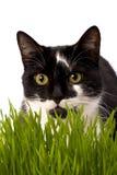Kat in gras Stock Afbeelding