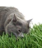 Kat in het gras Stock Afbeelding