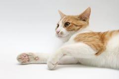Kat, het letten op en het leggen Stock Afbeeldingen