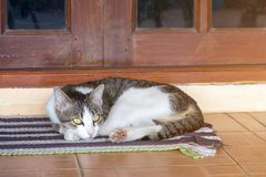 Kat het ontspannen op vloer, bruine kat en witte kat stock foto's