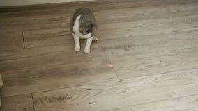 Kat het spelen met laserwijzer op de houten vloer stock footage