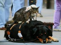 Kat, hond en een witte rat, vrienden Stock Foto's