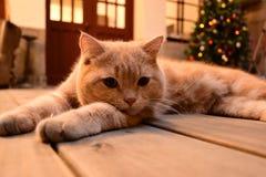 Kat/huisdier/Lichtbruine kleurenkat Royalty-vrije Stock Afbeeldingen