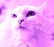 Kat, katje, dier, wit, leuk huisdier, katachtig, ogen, pot, bont, binnenlands portret, zoogdier, aanbiddelijk blauw, jong, Perzis royalty-vrije stock foto's