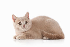 Kat Klein rood room Brits katje op witte achtergrond Royalty-vrije Stock Fotografie