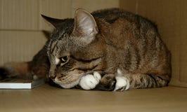Kat in liefde Stock Afbeeldingen