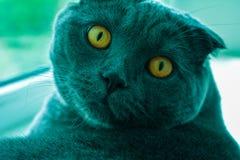 Kat met amberogen stock foto