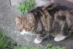 kat met bakkebaarden Stock Afbeelding