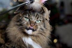 Kat met Bevederd Stuk speelgoed royalty-vrije stock fotografie