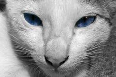Kat met Blauwe Ogen Stock Foto's
