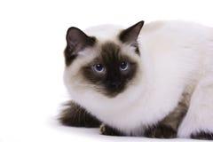 Kat met blauwe ogen Stock Afbeeldingen