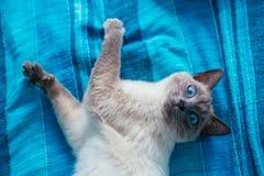 Kat met blauwe ogen op een achtergrond Royalty-vrije Stock Foto