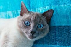 Kat met blauwe ogen op een achtergrond Stock Afbeelding