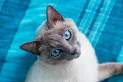 Kat met blauwe ogen op een achtergrond Royalty-vrije Stock Foto's