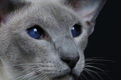 Kat met donkerblauwe ogen Stock Afbeeldingen