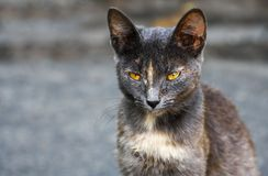 Kat met gele ogen Royalty-vrije Stock Foto's