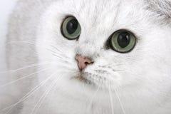 Kat met groene ogen Stock Foto