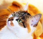 Kat met groene ogen Stock Afbeeldingen