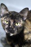Kat met groene ogen Royalty-vrije Stock Foto