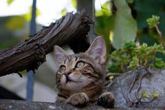 Kat met groene ogen die de afstand onderzoeken stock afbeelding