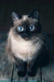 Kat met grote blauwe ogen Royalty-vrije Stock Foto's