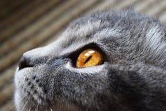 Kat met grote ogen Stock Afbeeldingen