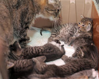 Kat met katjes stock foto