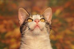 Kat met lange bakkebaarden die omhoog eruit zien Stock Foto's