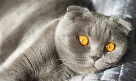 Kat met mooie grote en oranje ogen royalty-vrije stock fotografie