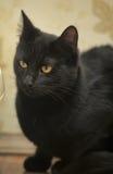 Kat met oranje ogen Stock Afbeeldingen