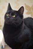 Kat met oranje ogen Royalty-vrije Stock Foto's