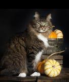 Kat met pompoenen Stock Foto's