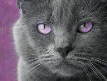 Kat met Purpere Ogen Stock Afbeeldingen
