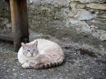 Kat met verbazende blauwe ogen royalty-vrije stock afbeeldingen