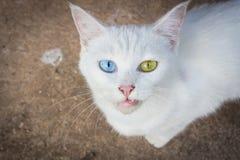 Kat met Verschillende Gekleurde Ogen Stock Foto