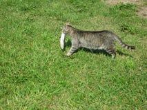 Kat met vissen Stock Foto's