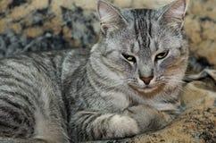 Kat op bruine achtergrond, Ernstige kat, kat thuis, trotse kat, grappige kat, grijze kat, huisdier, grijze ernstige kat Royalty-vrije Stock Afbeeldingen