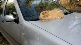 Kat op de auto` s kap stock video