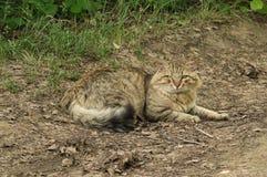 Kat op de bosweg Stock Foto