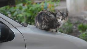 Kat op de kap van de auto stock video