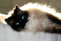 Kat op deken Royalty-vrije Stock Foto's