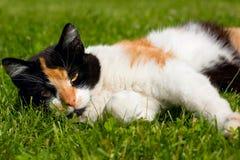 Kat op een gras Stock Fotografie