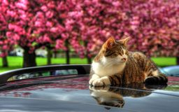 Kat op een heet autodak Royalty-vrije Stock Afbeelding