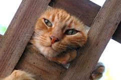 Kat op een Latwerk Stock Foto