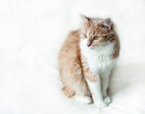 Kat op een witte achtergrond Stock Foto