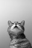 Kat op grijze achtergrond Stock Afbeeldingen